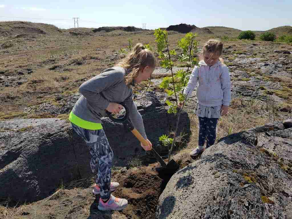 Planing trees in Iceland
